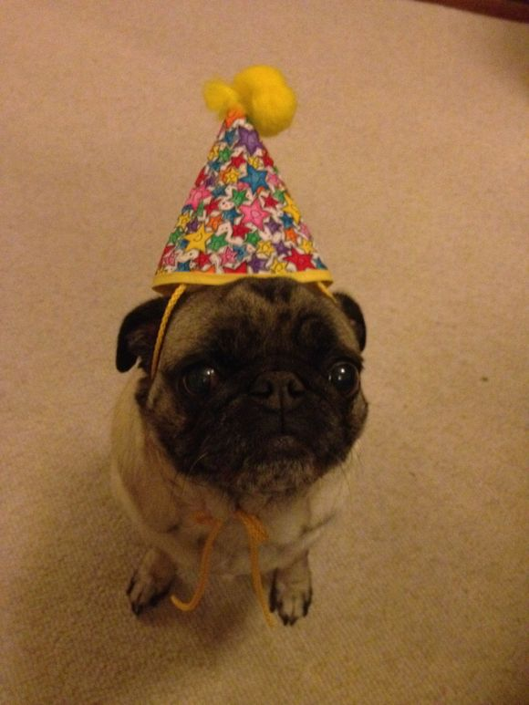 You're 8 Shelby pug!