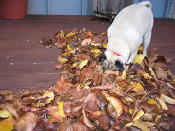 Autumn_pug