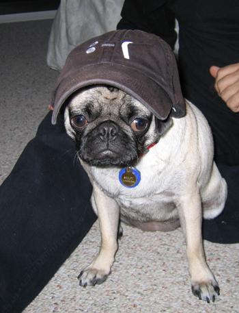 Pug_baseball_cap