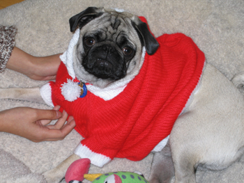 Pug_big_sweater