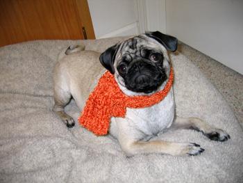 Pug_scarf