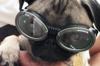 shelby_doggles_front.JPG