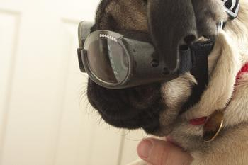 shelby_doggles_side.JPG